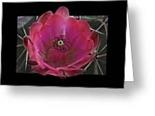 Framed Fuchsia Cactus Flower Greeting Card