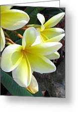 Frangipani Up Close Greeting Card