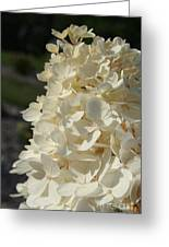 French Vanilla Hydrangea Greeting Card