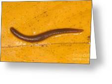 Freshwater Leech Hirudo Sp Greeting Card