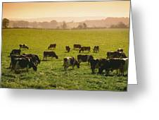 Friesian Cattle Cattle Grazing Greeting Card