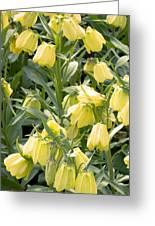 Fritillaria Pallidiflora Greeting Card