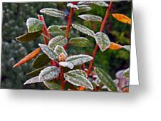 Frosted Rhodie Greeting Card