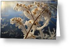 Frosty Dry Wood Aster Greeting Card