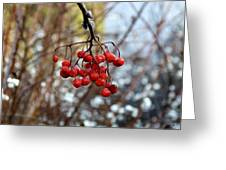 Frozen Mountain Ash Berries Greeting Card