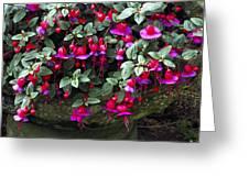 Fuchsia 'swanley Gem' Greeting Card
