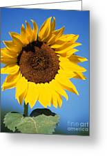Full Sunflower Greeting Card