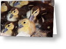 Fuzzy Ducklings Greeting Card