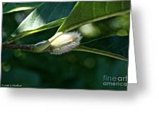 Fuzzy Magnolia Greeting Card