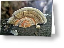 Fuzzy Turkey Tail Shelf Fungus - Trametes Ochracea Greeting Card