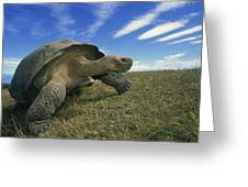 Galapagos Giant Tortoise Geochelone Greeting Card