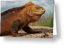 Galapagos Land Iguana Conolophus Greeting Card