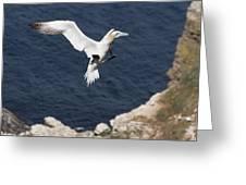 Gannet Landing Greeting Card