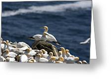 Gannets Gannets Everywhere Greeting Card