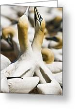 Gannets, Parc National De Greeting Card by Yves Marcoux