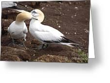 Gannets Showing Mutual Preening Behavior Greeting Card