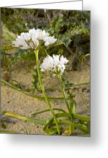 Garlic (allium Sub Villosum) Greeting Card