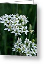 Garlic Chive Blooms Greeting Card