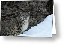 Gaze Of The Snow Leopard Greeting Card