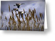 Geese Coming In For A Landing Greeting Card
