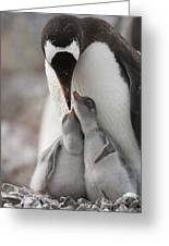 Gentoo Penguin Feeding Its Two Chicks Greeting Card by Tom Murphy