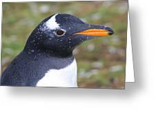 Gentoo Penguin Head Shot Greeting Card