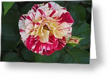 George Burns Rose Greeting Card