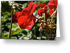 Geranium Gem Greeting Card