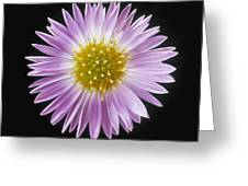 Gerber Daisy In Black Background Greeting Card