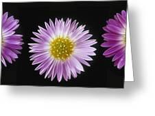 Gerber Dasies Greeting Card