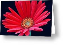 Gerbera Daisy 1 Greeting Card