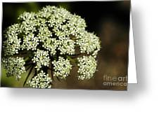 Giant Buckwheat Flower Greeting Card
