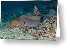 Giant Moray Eel Swimming Greeting Card by Mathieu Meur