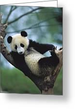 Giant Panda Cub Resting In A Tree Greeting Card