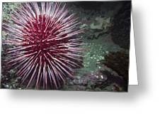 Giant Red Sea Urchin Greeting Card