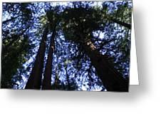 Giant Redwoods, Muir Woods, California Greeting Card