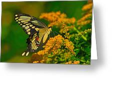 Giant Swallowtail On Goldenrod Greeting Card