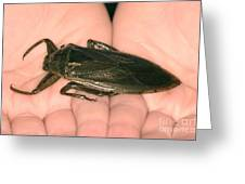 Giant Water Bug Greeting Card
