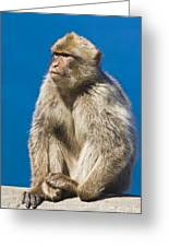 Gibraltar Barbary Macaque Macaca Greeting Card