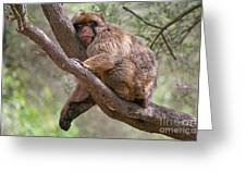 Gibraltar Barbary Macaque Greeting Card