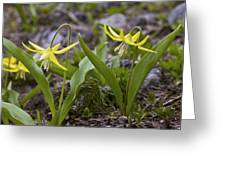 Glacier Lilies (erythronium Montanum) Greeting Card