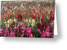 Gladioli Garden In Early Fall Greeting Card