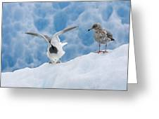 Glaucous-winged Gull Larus Glaucescens Greeting Card