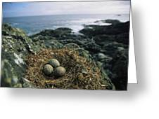 Glaucous-winged Gull Nest With Three Greeting Card by Joel Sartore