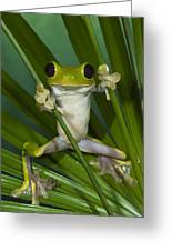 Gliding Leaf Frog Agalychnis Spurrelli Greeting Card