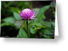 Globe Amaranth Bicolor Rose Greeting Card