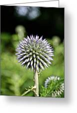 Globe Thistle Greeting Card