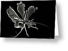 Glorios Superba In Black And White Greeting Card