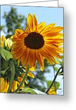 Glory Glory Sunflower Greeting Card