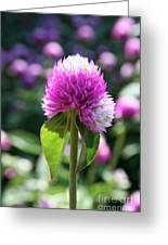 Glowing Globe Amaranth Greeting Card